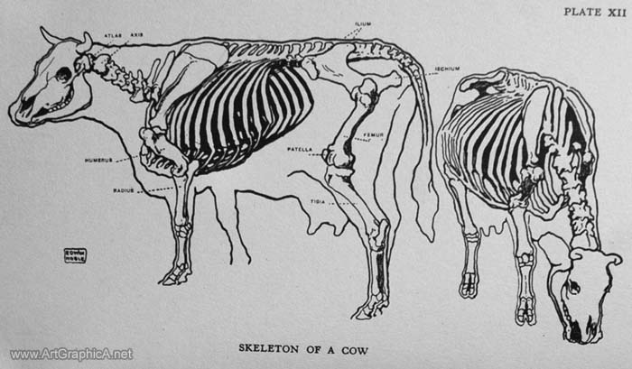 skeleton of a cow, anatomy