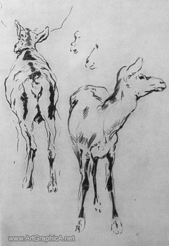 drawing of wapiti