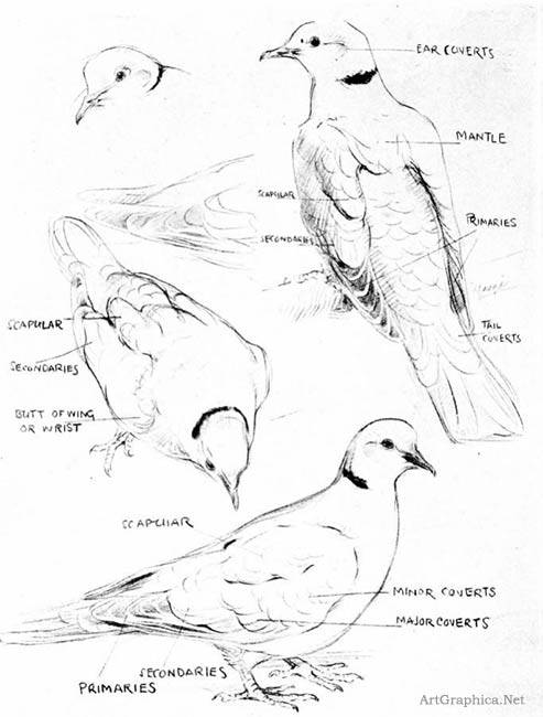 dove sketches, art student book, free art book online