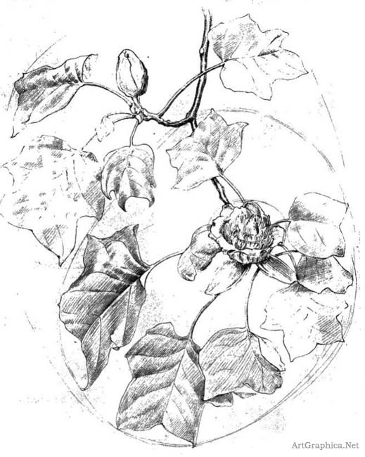 tulip tree, drawing for art students, art books online