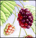 blackberries, watercolor lesson