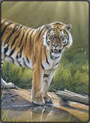 tiger photorealism, pastel art lesson