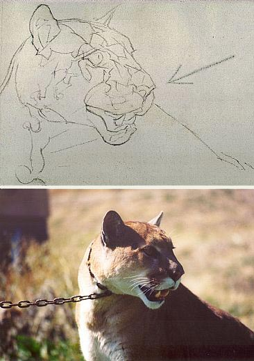 cougar, drawing wildlife in charcoal