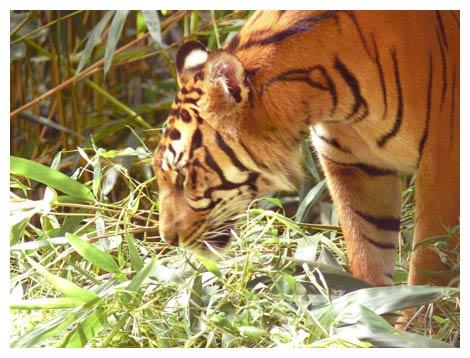 tigre, arte dos animais selvagens de demonstração