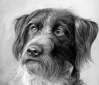 DRAHTHAAR dog, black and white