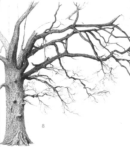 oak tree, drawing oaks, oak drawing