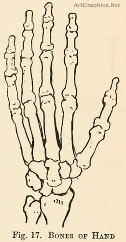 bones of the hand, learning art