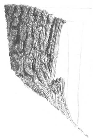 drawing tree bark