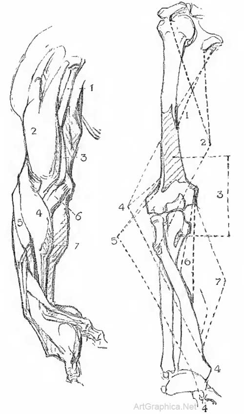 Anatomy Of The Arm George Bridgman Art Book
