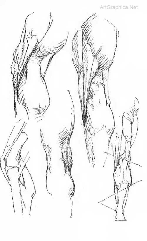 The Leg Constructive Anatomy By George Bridgman Free Art Lesson