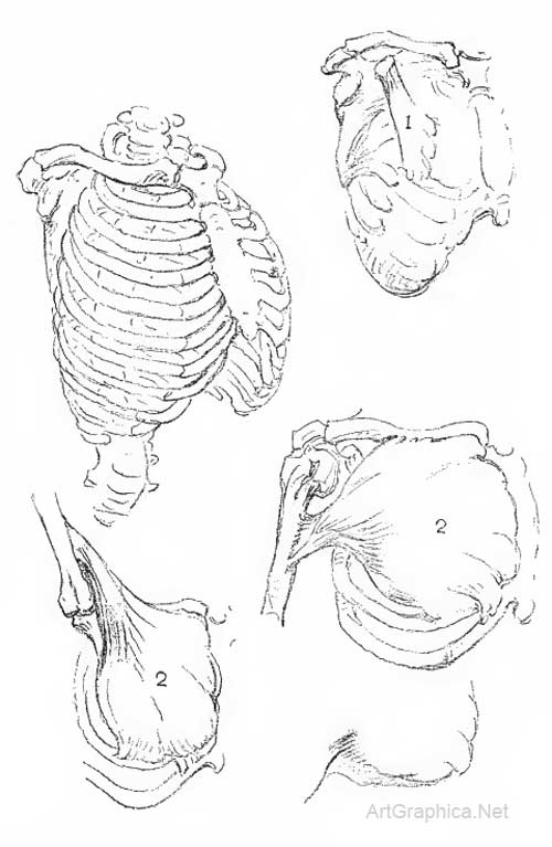 ribcage, anatomy and art, skeleton