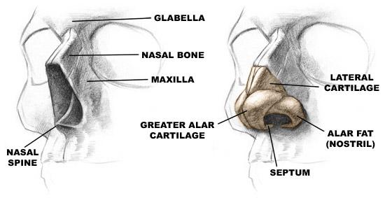 Nasal Bone Anatomy | Human Anatomy