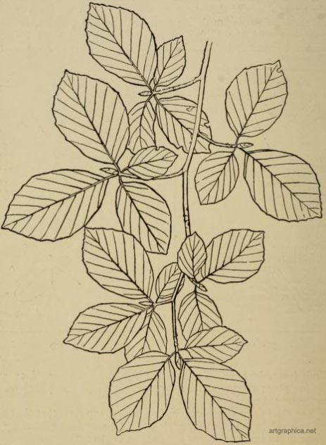 beech tree leaves, learn to draw trees