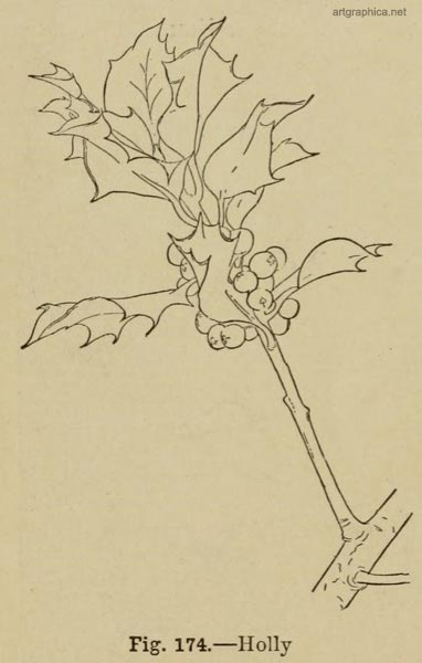 holly leaves, drawing a holly tree