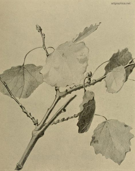 grey poplar leaves, drawing a poplar tree