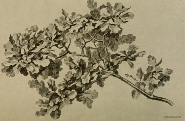 oak tree leaf arrangement, how to draw oak trees