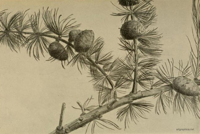 shuttlecock larch, drawing larch trees