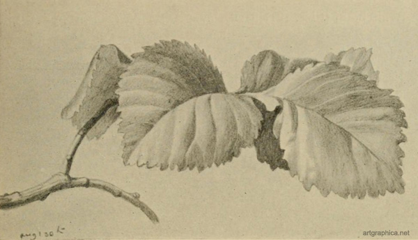 elm tree leaf identification. elm tree leaf identification.