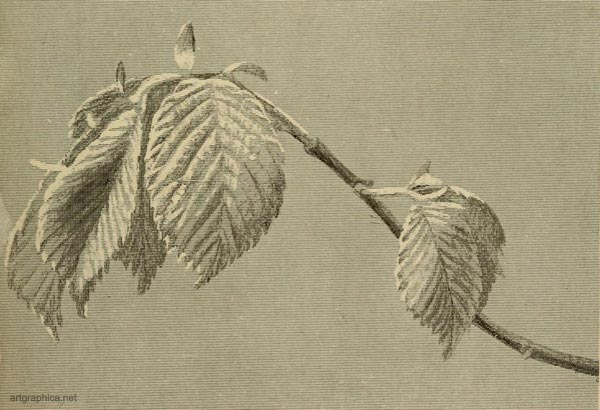 wych elm tree, elm tree art, how to draw an elm tree