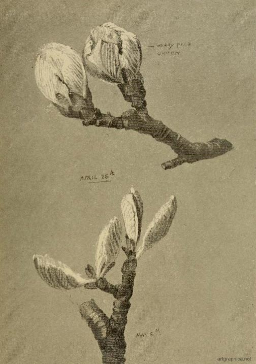 whitebeam leaves,drawing a whitebeam tree