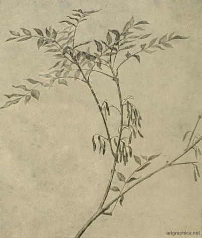 ash leaves, drawing an ash tree, anatomy of trees, rex vicat cole