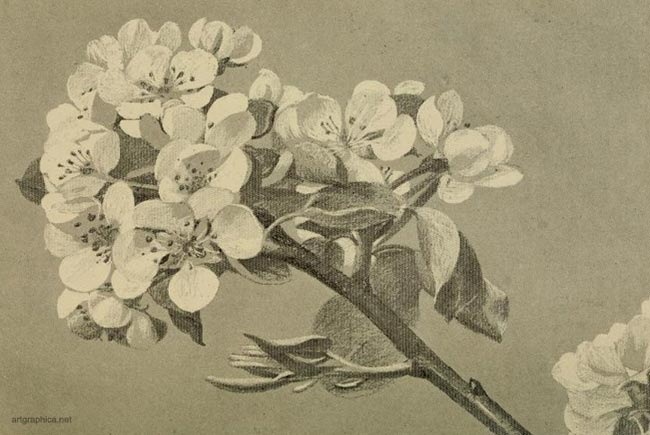 pear tree flower, drawing pear trees