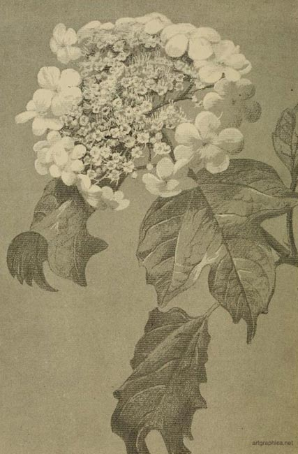 guelder rose, drawing a rose
