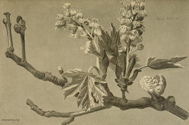 tree bough - flowers of sycamore
