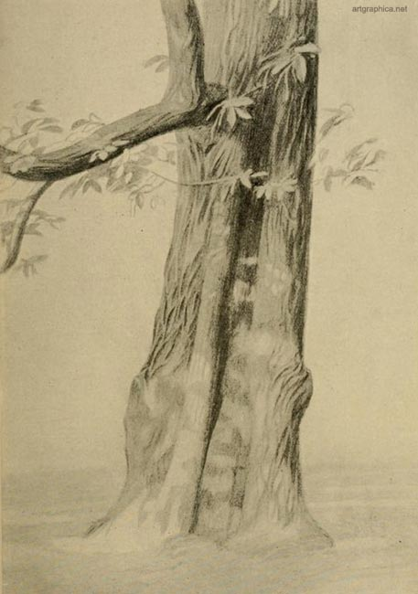 spanish chestnut tree, drawing a chestnut tree