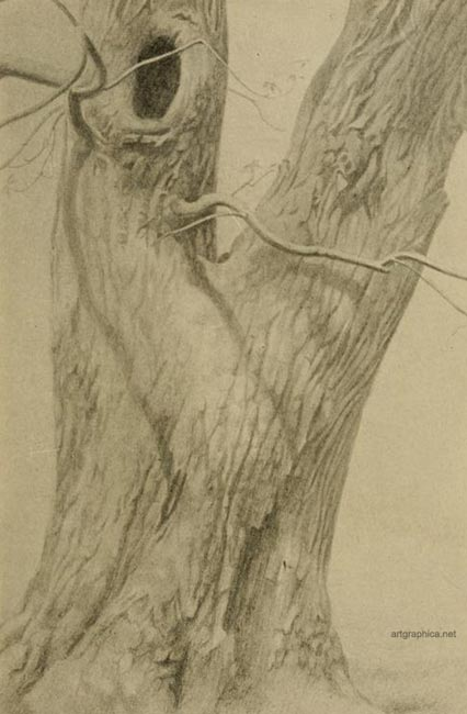 walnut tree art, drawing walnut trees