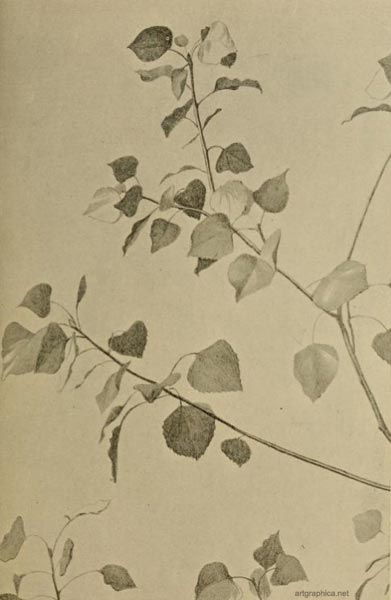 black poplar drawing, poplar tree art