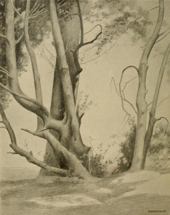 holly stems, rex vicat cole, drawing trees, tree anatomy