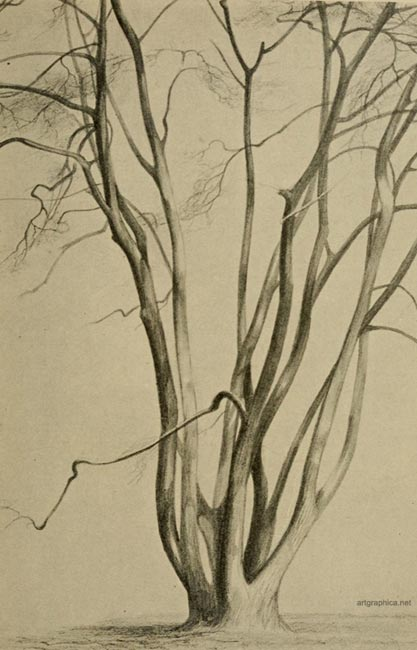 field maple, maple tree drawing
