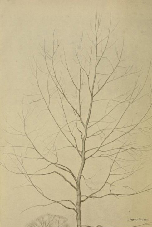 young white poplar, drawing poplar trees