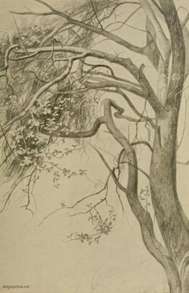 crab apple tree drawing, drawing apple trees