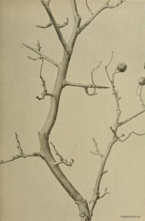 thorn tree, drawing twigs