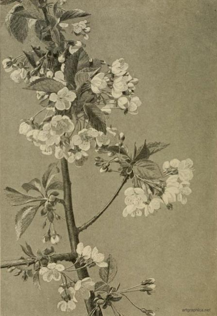 bough of a cherry tree, cherry tree drawing