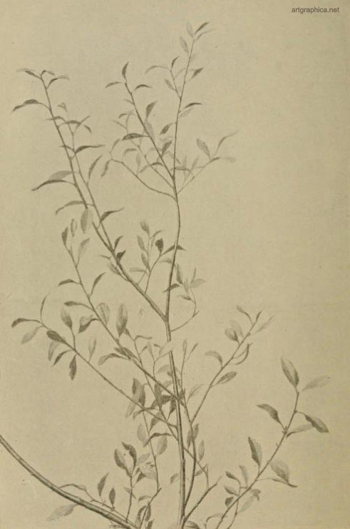 goat willow leaves, drawing goat willow