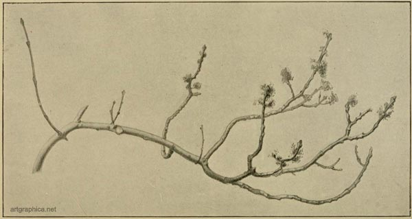 irregular branch formation, rex vicat cole, drawing trees