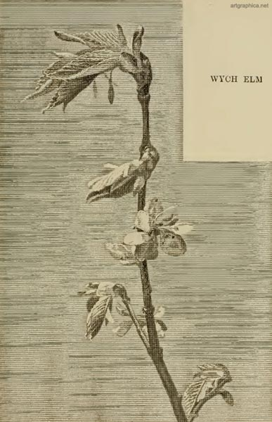 wych elm, young leaves, drawing leaves