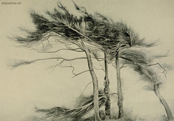 larch trees, larch trees art drawing, illustraiton of larch trees