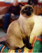 siamese cat, cat reference photo