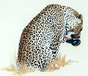 south africa, leopard, wildlife art