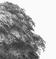 drawing realistic foliage