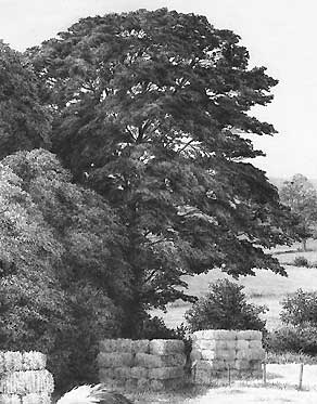 drawing realistic trees