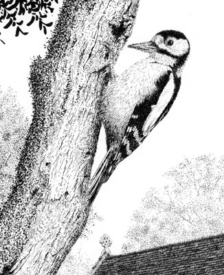 woodpecker ink drawing