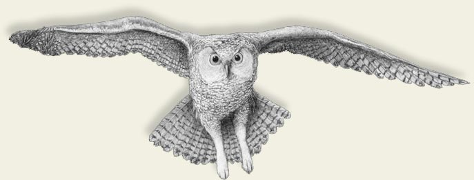 owl pencil drawing
