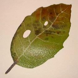 painting realistic leaves
