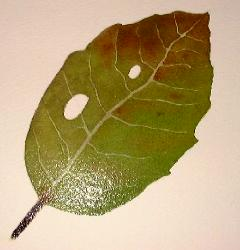 leaf veins, how to paint leaves
