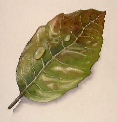 how to paint leaves, free watercolor lessons